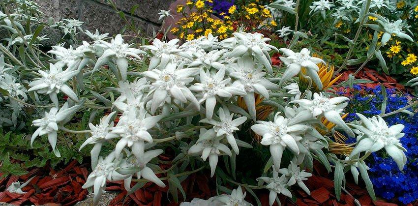 edelweiss-flor