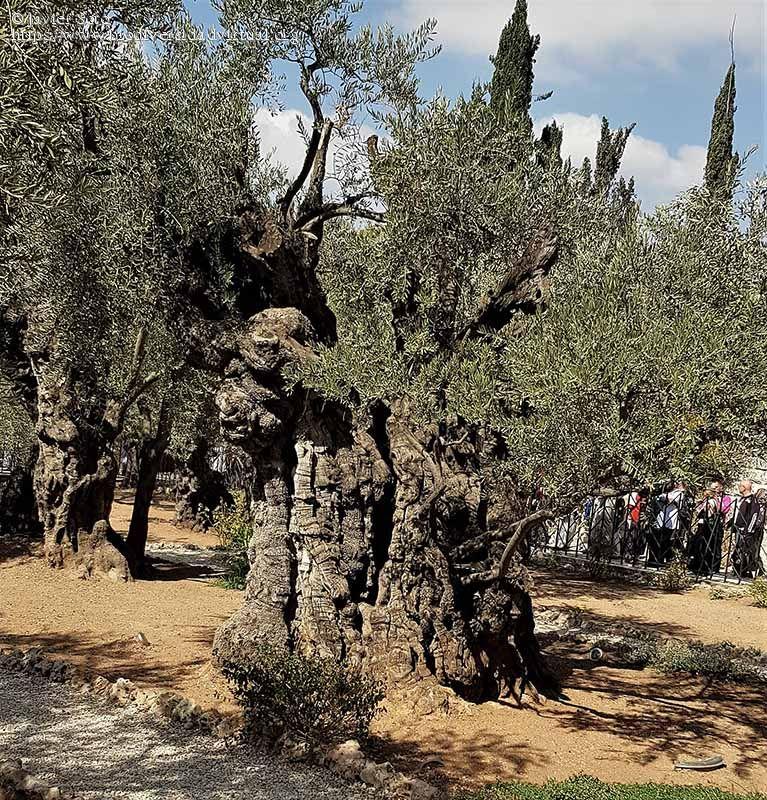 Huerto-de-los-olivos-Jerusalen-87954