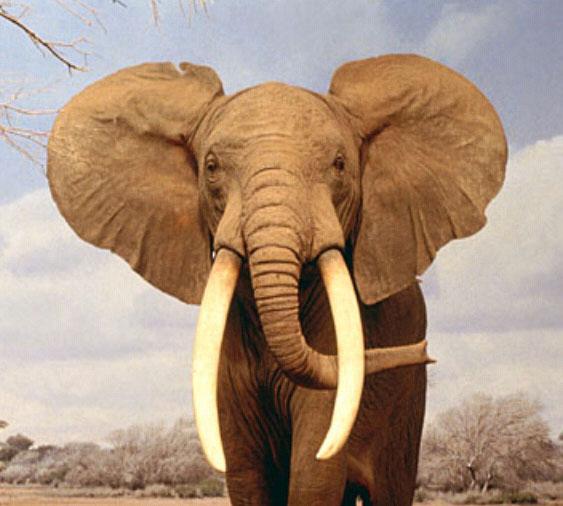 elefante-africano[1]