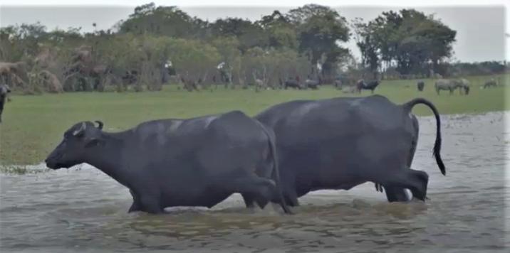 Búfalos, una de las grandes amenazas a los mura