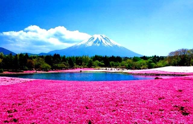 shibazakura-hill-japan