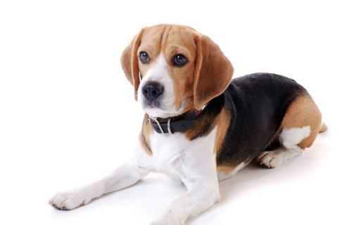 perro-infecciones
