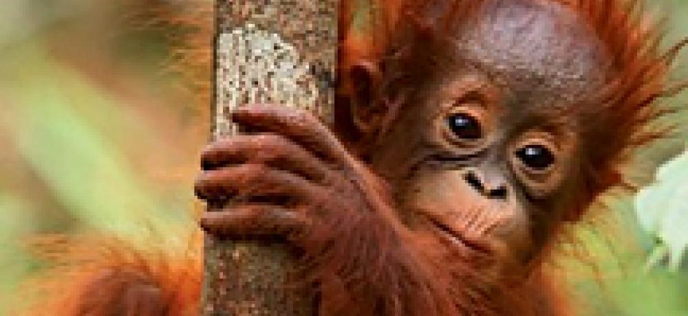 orangutan-p