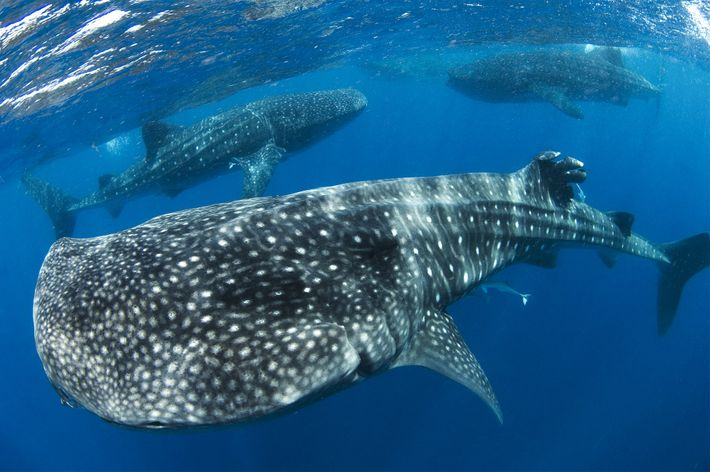 whale-shark-swarm-01