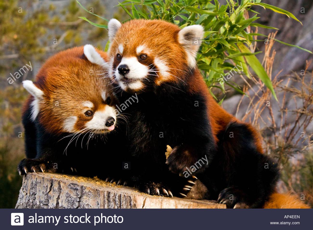 par-de-pandas-rojos-ap4een