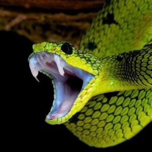 serpientes-venenosa_6df385b10a1f627126e8791bf37115af67328ffd