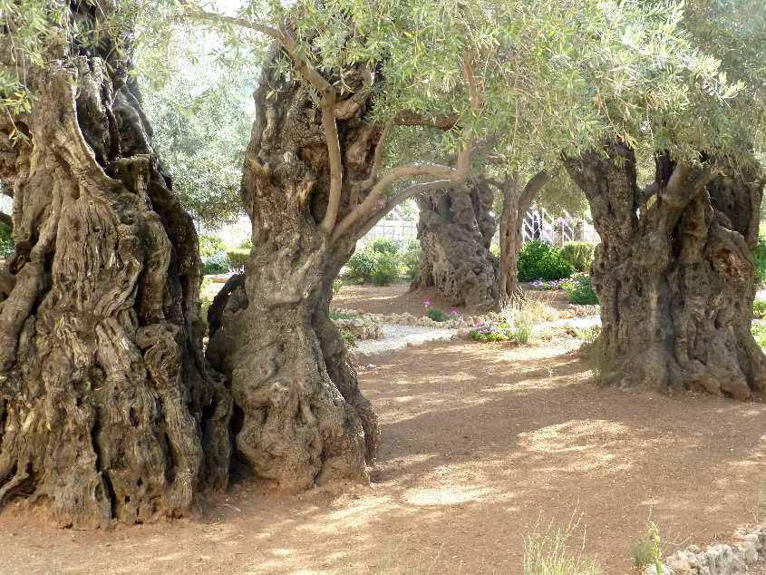 olivos-getsemani