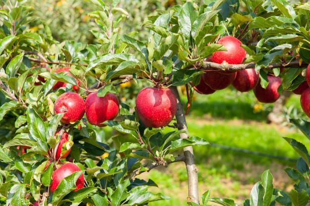 manzanos-cargados-manzanas-huerto-verano_105413-1483