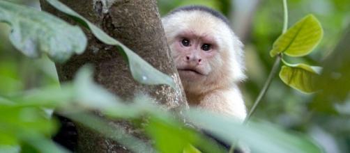 monos-dan-signo-de-haber-iniciado-su-edad-de-piedra_2047543